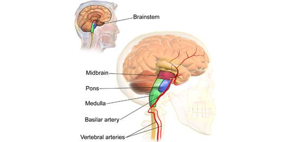 brainstem Quizzes & Trivia