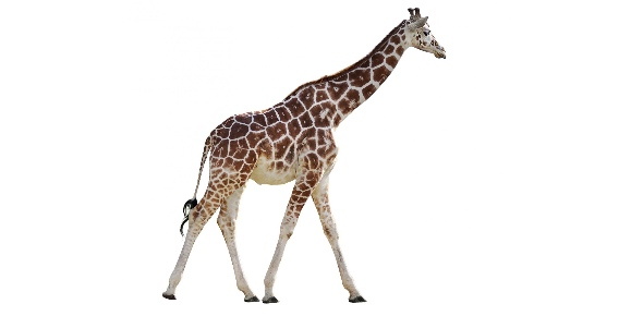 giraffe Quizzes & Trivia