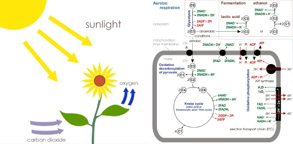 photosynthesis and cellular respiration Quizzes & Trivia