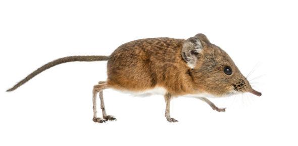 elephant shrew Quizzes & Trivia