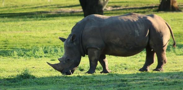 javan rhinoceros Quizzes & Trivia