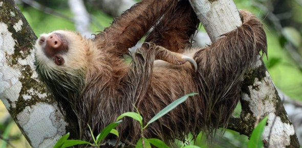 Pygmy Three Toed Sloth Quizzes & Trivia
