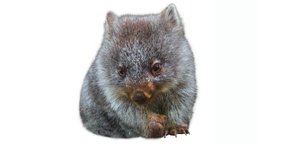 wombat Quizzes & Trivia