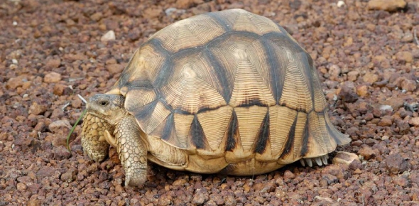 Ploughshare Tortoise Quizzes, Ploughshare tortoise Trivia, Ploughshare tortoise Questions