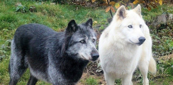 Wolf breed Quizzes, Wolf breed Trivia, Wolf breed Questions