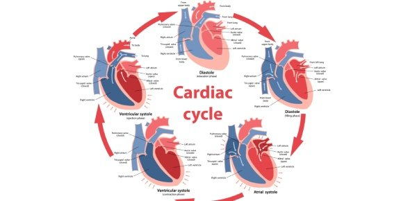 The Cardiac Cycle Proprofs Quiz