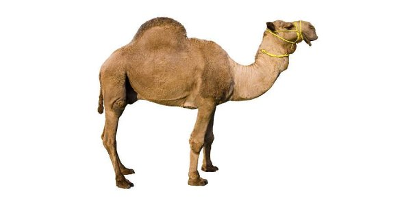 camel Quizzes & Trivia
