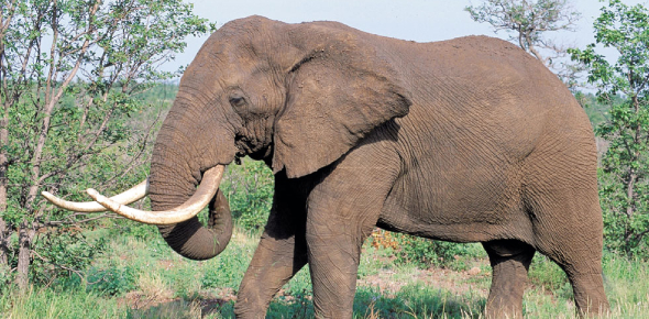 african elephant Quizzes & Trivia