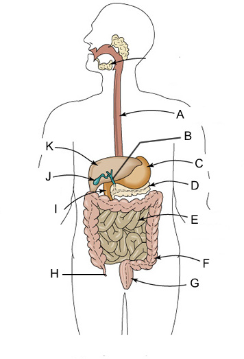 Digestive System Quiz Questions And Answers