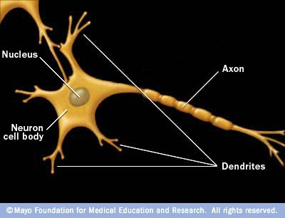 Quiz Over The Brain And Nervous System