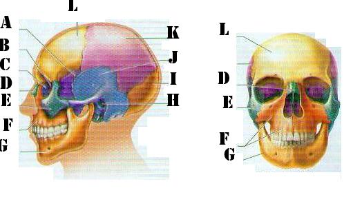 Identify Skull Bones Quiz