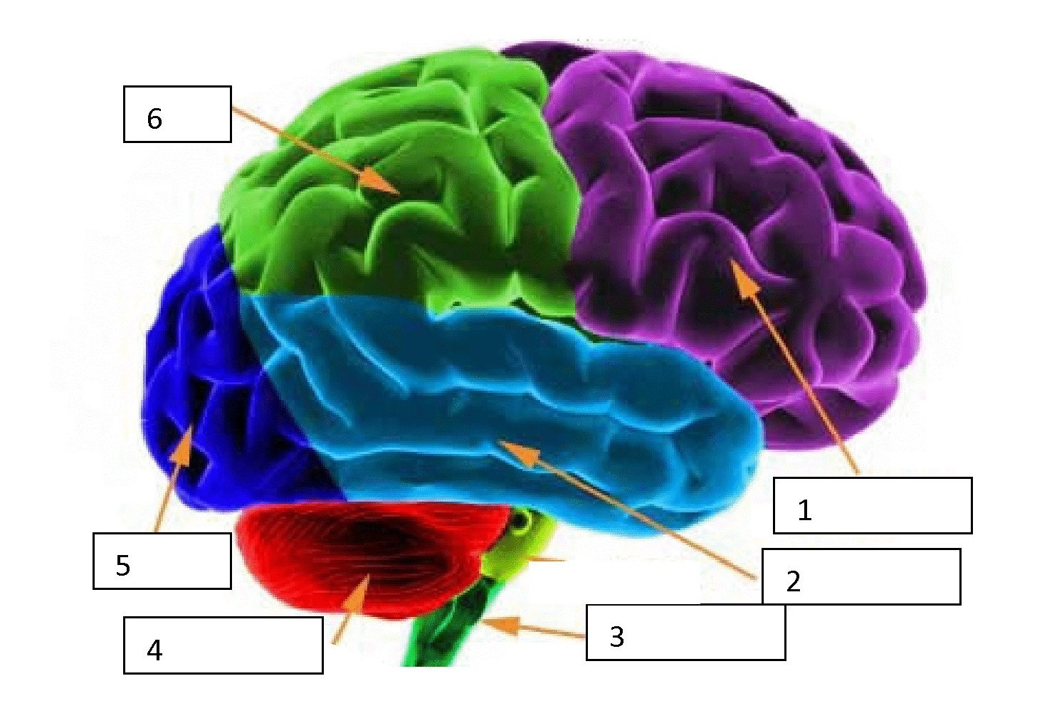 Quiz Over The Brain And Nervous System - ProProfs Quiz