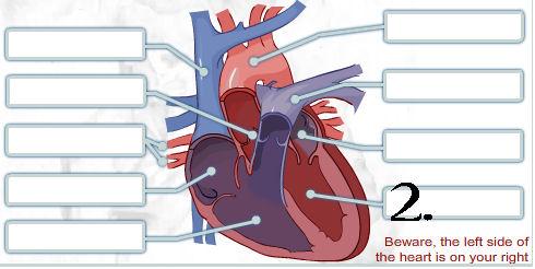 Pick Correct Options For Human Heart Quiz - ProProfs Quiz