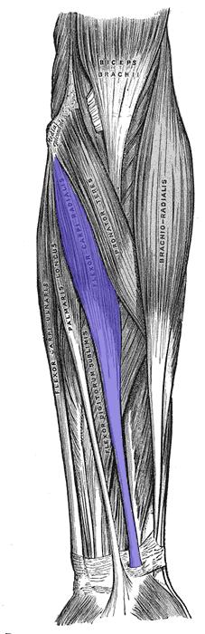 Appendicular Muscles Quiz