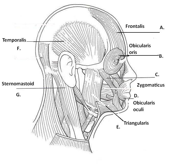 muscles and bones of the face
