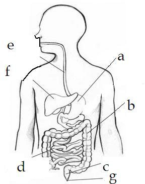 Digestion For Food