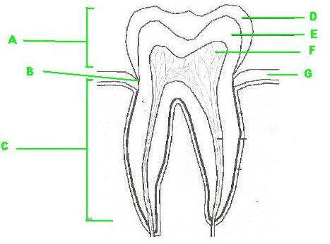 Teeth Diagram Label Redbulstandardinternational