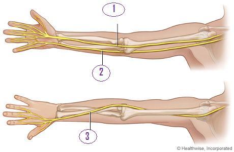 Interactive Nerve Anatomy Guide