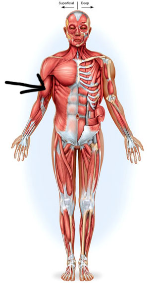 Muscle Lab Practice Exam-a&p 172