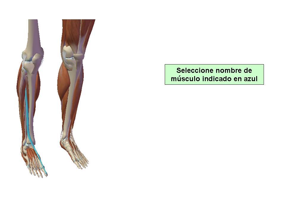 Músculos De Piernas. - ProProfs Quiz