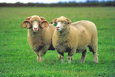Sheep Breed Identification
