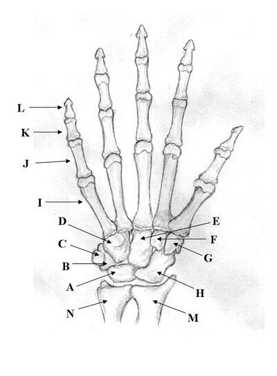 Bones Of The Upper Limb Quiz
