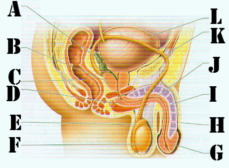 Identify Male Reproductive System Quiz