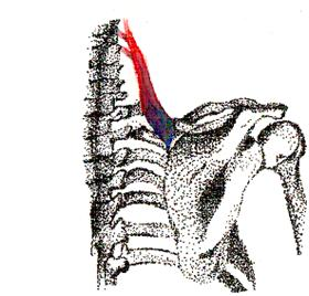The Anatomy Of The Shoulder Quiz