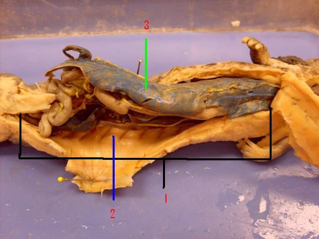 Necturus: Coeloms, Mesenteries, Ligaments