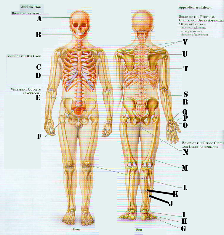 Skeletal System: Anatomy And Physiology Quiz