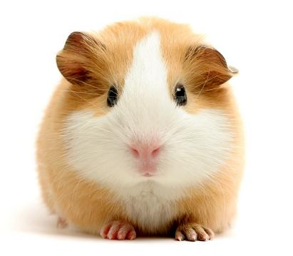 So You Think You Know Guinea Pigs?