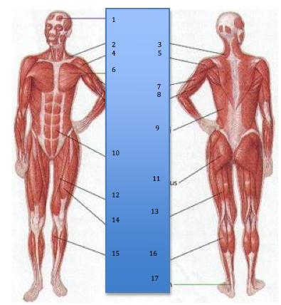 Muscular System Exam - ProProfs Quiz