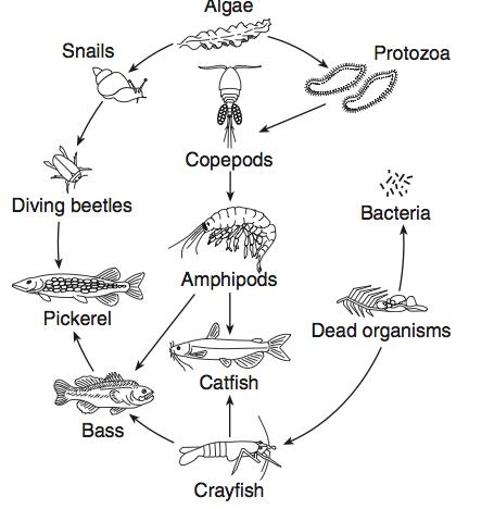 Food Web Diagram Template Free Freshwater