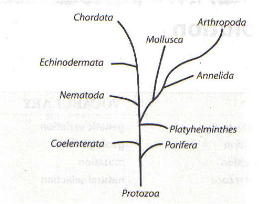 Le hw435 proprofs quiz evolution is often represented as a branching tree diagram similar to the one shown below the names shown represent different groups of organisms alive ccuart Image collections