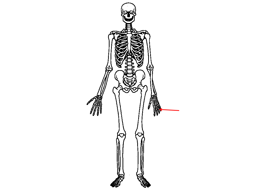 MD00070064 additionally 57 also Parenthood Star Breaks Arm In Bicycling Accident as well Bones  26 Muscles together with 6275510. on long bone diagram unlabeled