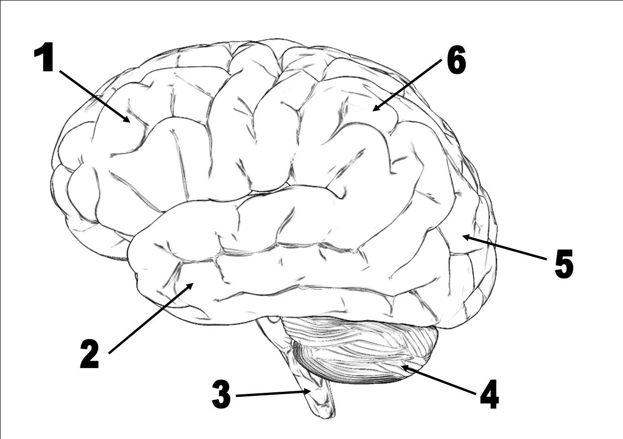 Neuroscience And Behavior Quiz Questions
