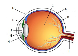 eye diagram for quiz my wiring diagrameye diagram for quiz wiring diagrams value basic eye diagram quiz wiring diagram list eye diagram