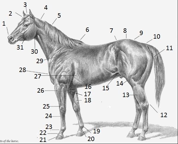 Ahs 202l some horse questions proprofs quiz ahs 202l some horse questions ccuart Images