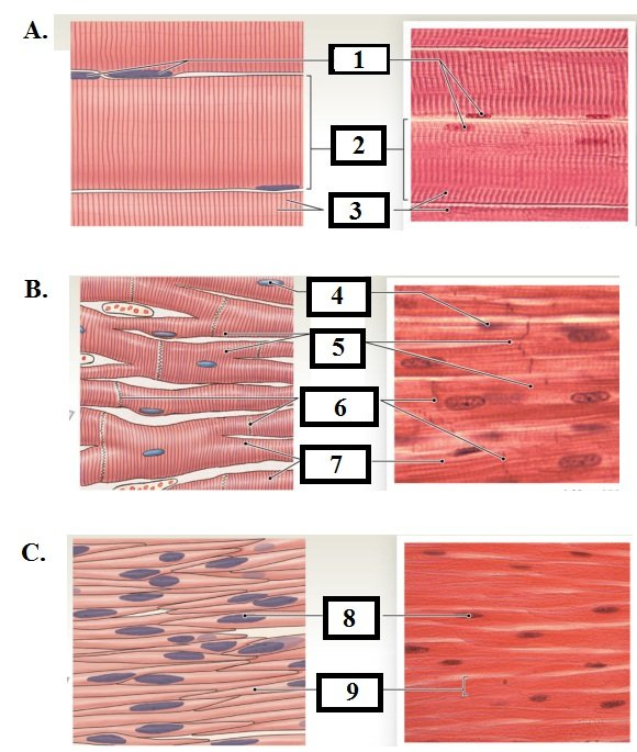 Muscle Tissue - Skeletal Muscle Structures - ProProfs Quiz