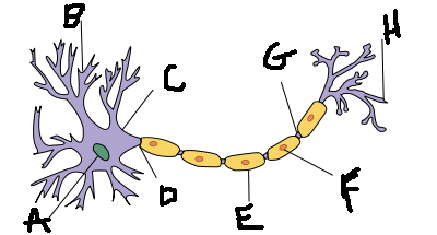 Ap lab 4 nervous system lab 1 proprofs quiz what is the structure labeled with c ccuart Images