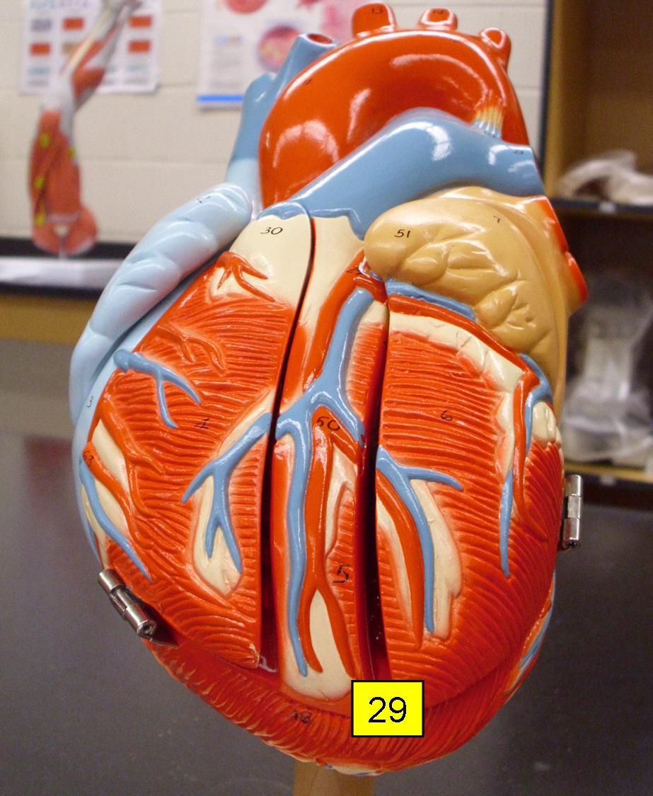 Heart Model Sheep Heart Practice Quiz