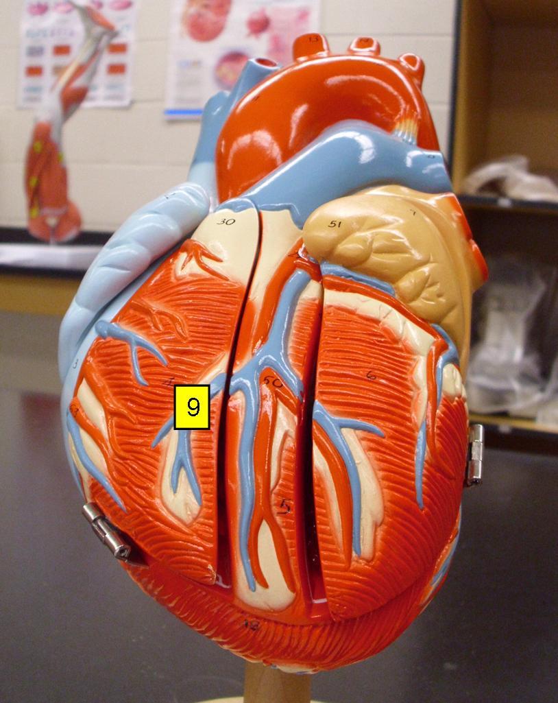 Heart Model & Sheep Heart Practice Quiz - ProProfs Quiz
