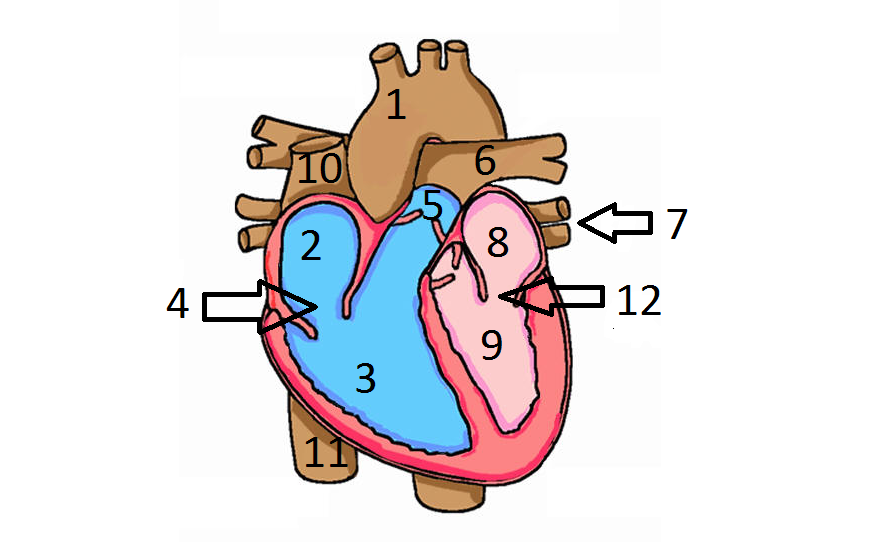 Label of the human heart quiz proprofs quiz what is 10 ccuart