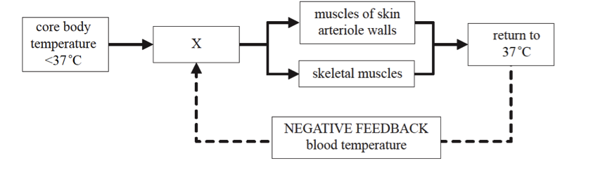 Ib biology 2 proprofs quiz the diagram below represents the homeostatic control of body temperature what does the part labelled x represent ccuart Choice Image