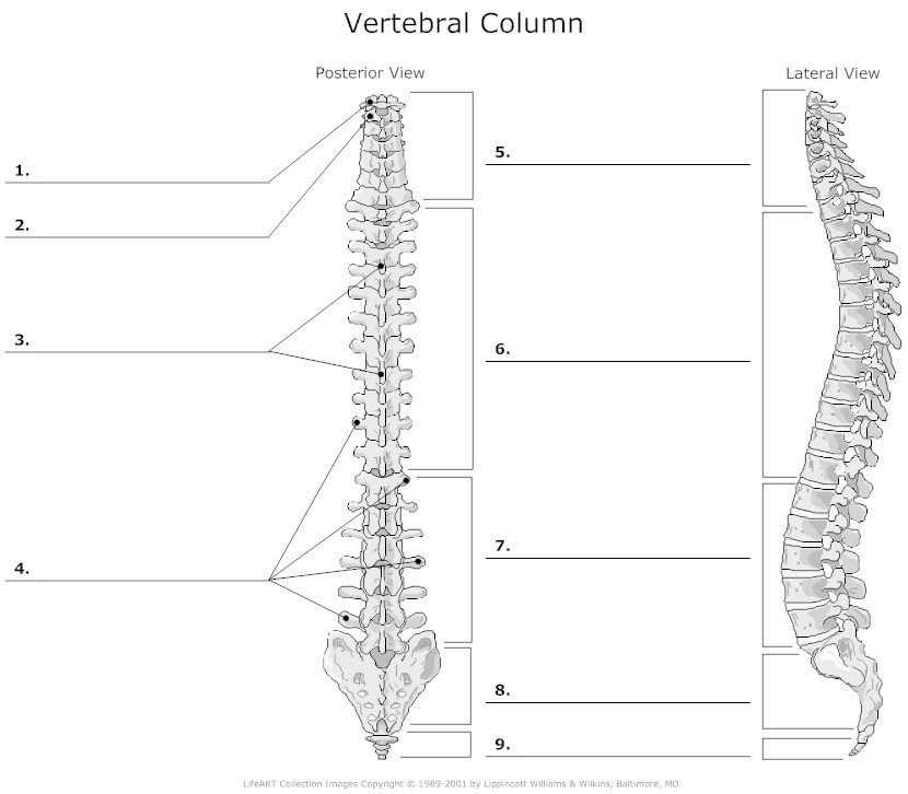 What type of vertebrae is no.7 in the illustration below ...