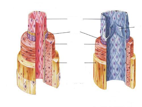 Human Vein Diagram Unlabeled Diy Wiring Diagrams