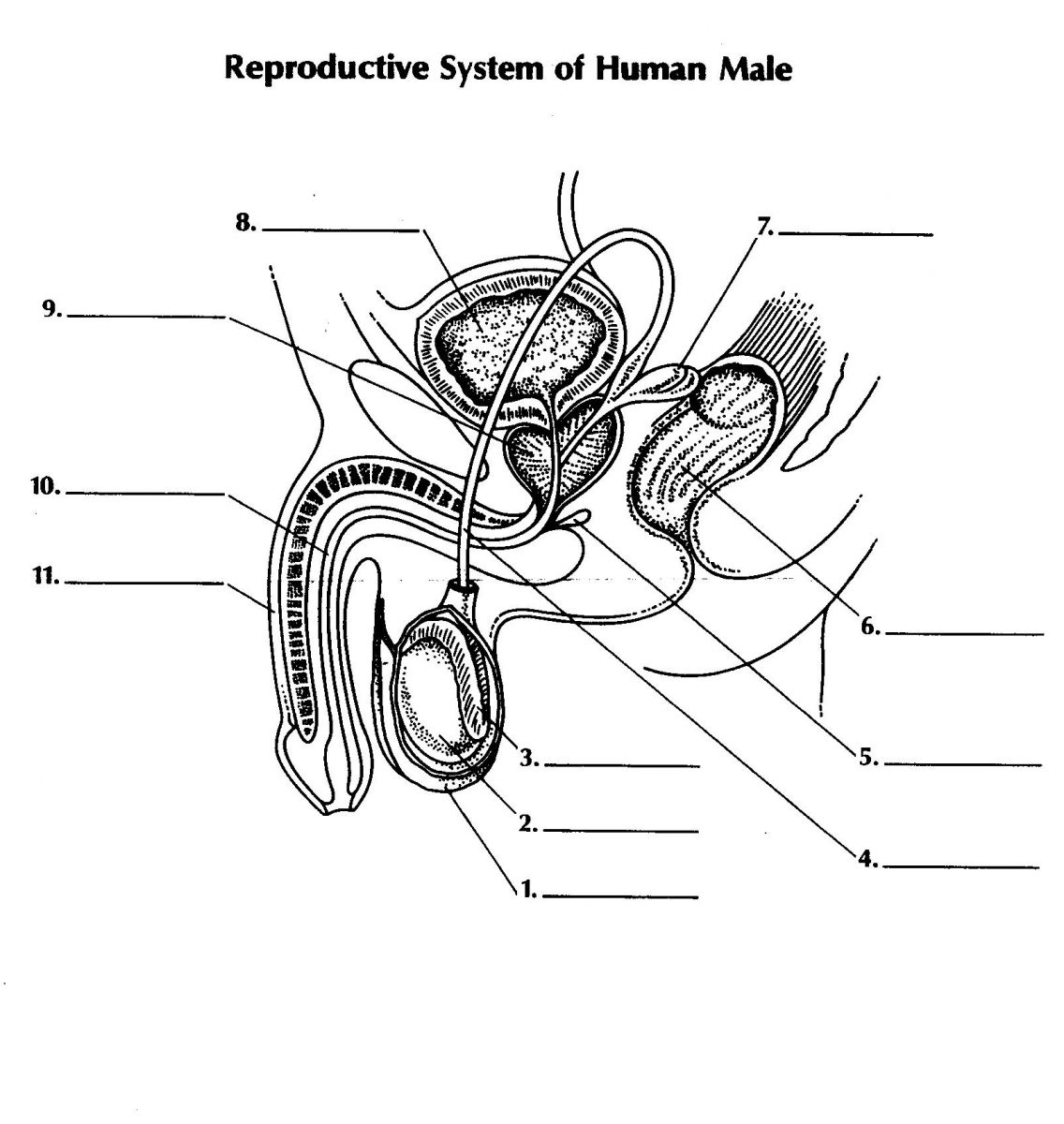 Male sexual anatomy diagram