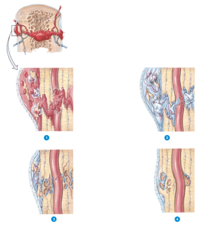 Tolle Musculoskeletal System Anatomy And Physiology Bilder ...