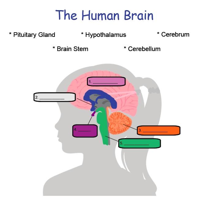 Science the human brain year 4 proprofs quiz science the human brain year 4 ccuart Choice Image