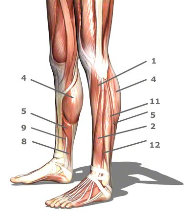 Footanklelower Leg Anatomy Quiz Proprofs Quiz